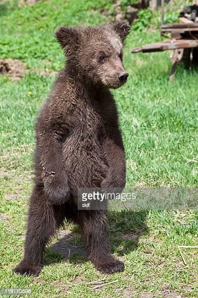 Bear teenager