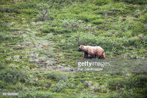 A Bear Wandering through Meadow
