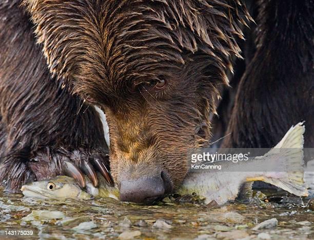 Bear avec saumon