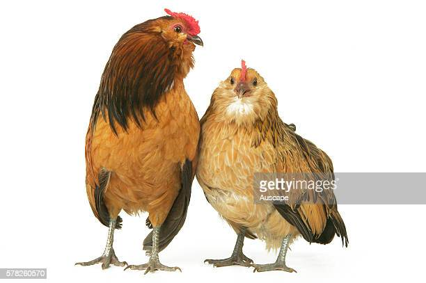 Bearded Antwerp bearded bantam Gallus gallus domesticus rooster and hen Germany