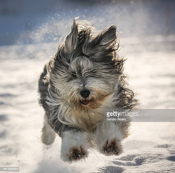 Bearded Collie Dog running in the snow