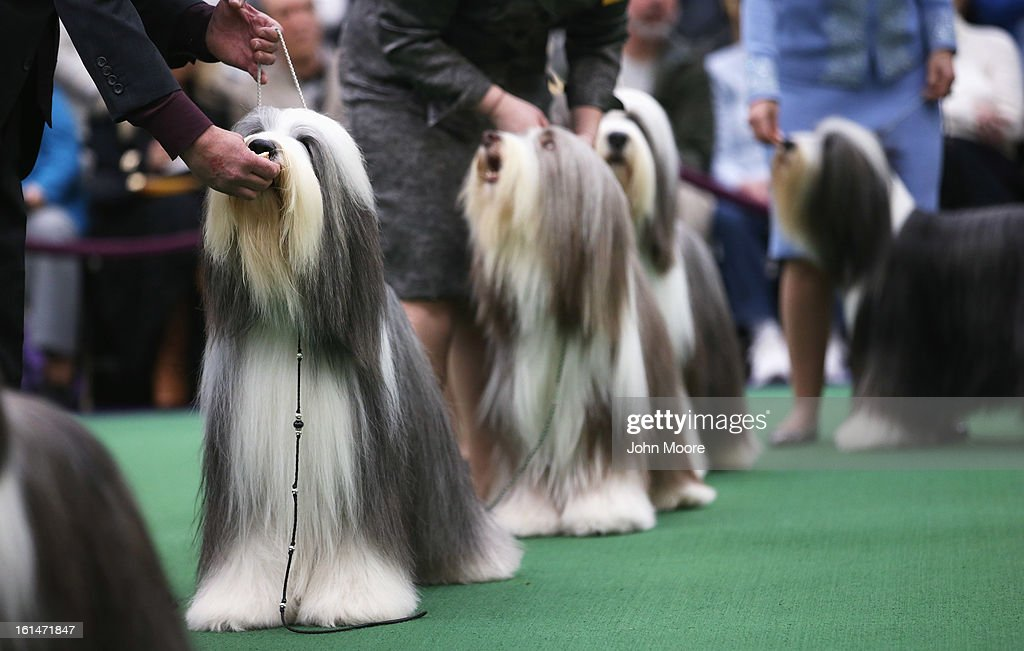 Bearded collies compete in the 137th Westminster Kennel Club Dog Show on February 11, 2013 in New York City. A total of 2,721 dogs from 187 breeds and varieties are to compete in the event, hailed by organizers as the second oldest sporting competition in America, after the Kentucky Derby. The Best in Show dog is to be selected at Madison Square Garden Tuesday night.