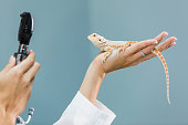 A female veterinarian specializing in reptiles, examining a bearded dragon, resting in the palm of her hand.