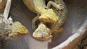 Bearded Dragon lizard playing in the water pool. Australian reptile living in the wildlife.