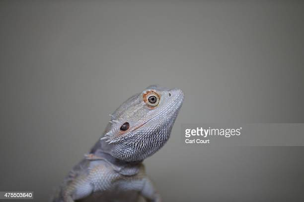 Bearded Dragon looks up in its tank at the Royal Society for the Prevention of Cruelty to Animals reptile rescue centre on May 29 2015 in Brighton...