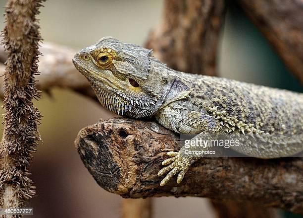 Bearded dragon lying on tree branch