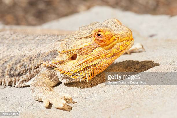 Bearded Dragon (Amphibolurus Barbatus)