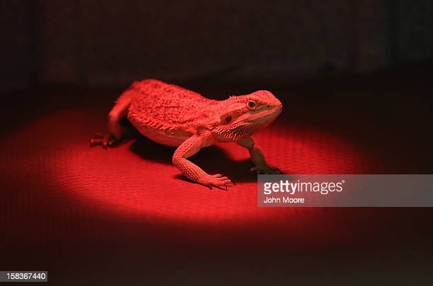 A bearded dragon waits under a heat lamp before receiving an ultrasound test for pregnancy at the Animal Medical Center on December 12 2012 in New...