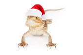 A bearded dragon wearing a red santa hat
