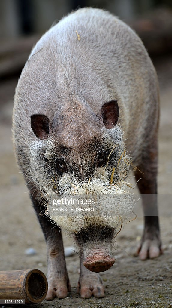 A bearded pig is pictured at the Hellabrunn zoo in Munich, southern Germany on April 3, 2013.