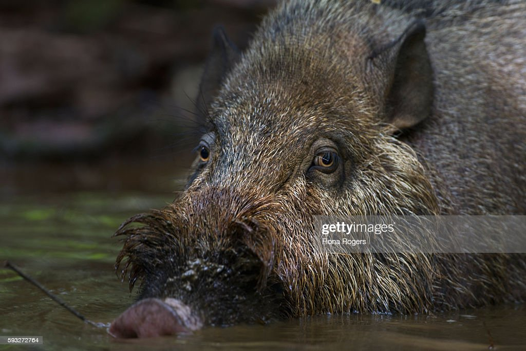 Bearded pig wallowing in a pool of water