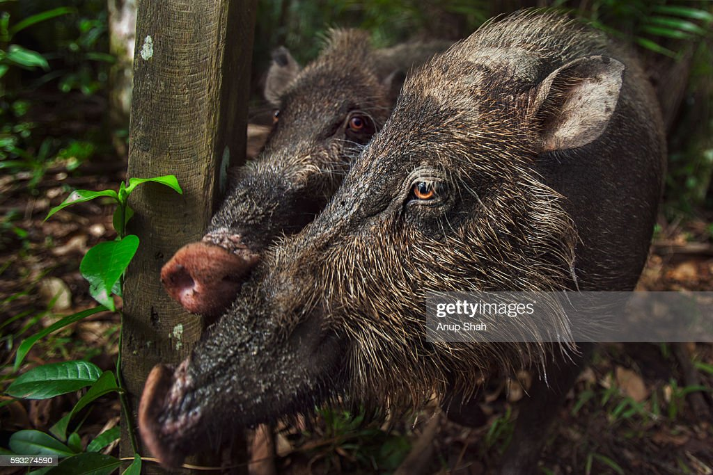 Bearded pigs approaching inquisitively