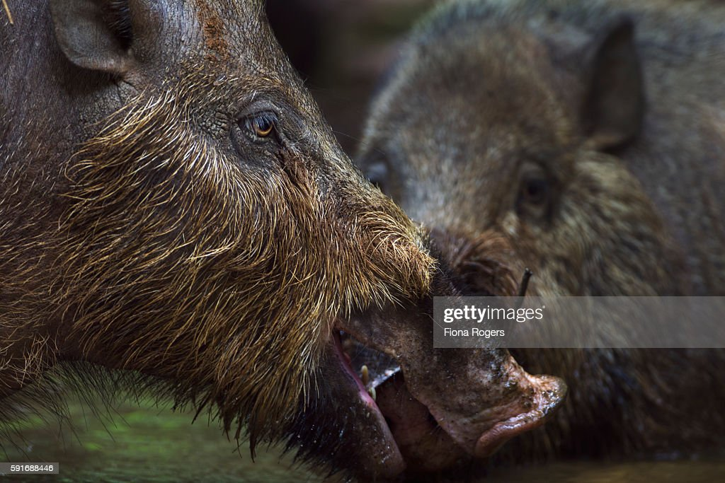 Bearded pigs wallowing in a pool of water