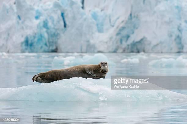 Bearded seal resting on an icefloe at the Lilliehook Glacier in Lilliehookfjorden Svalbard Norway