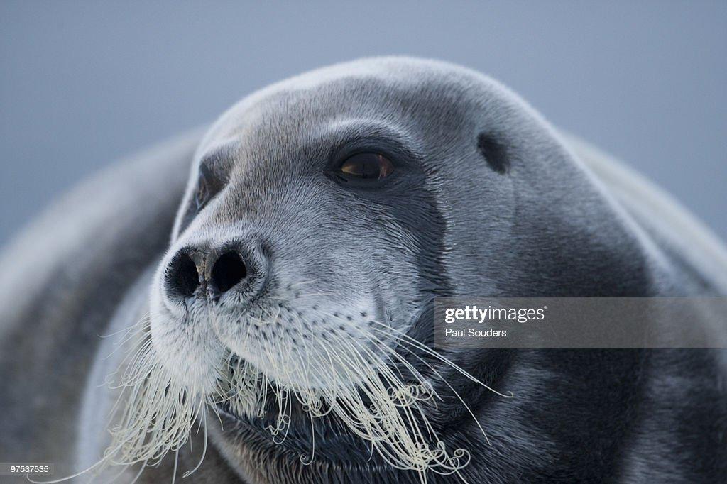 Bearded Seal, Svalbard, Norway : Stock Photo