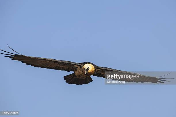 Bearded Vulture adult (Gypaetus barbatus) in flight, Giants Castle Nature Reserve, Ukhahlamba Drakensberg Park, Kwazulu-Natal Province, South Africa