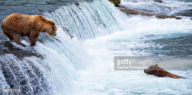 Bears and the salmon