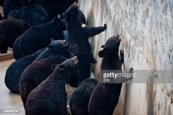 Bears are seen at one of the traditional Chinese medicine company Guizhentang's controversial bear bile farms in Hui'an southeast China's Fujian...
