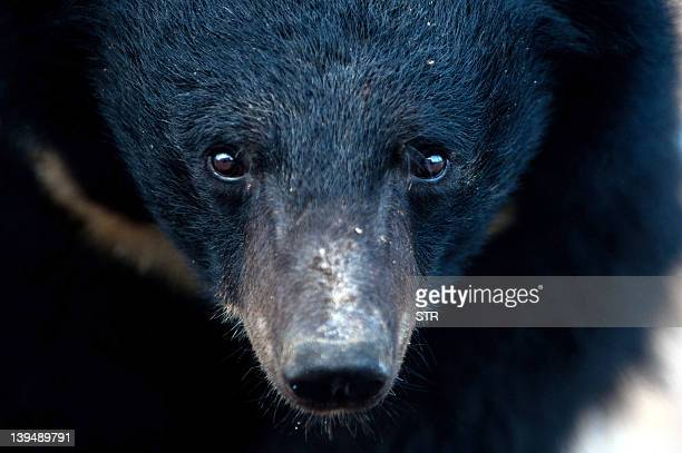 A bears is seen at one of the traditional Chinese medicine company Guizhentang's controversial bear bile farms in Hui'an southeast China's Fujian...