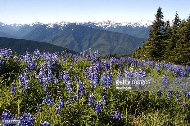 Beautiful Alpine Meadow of Lupine In Olympic National Park