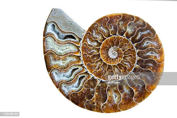 Beautiful Ammonite Fossil Shell Isolated on White
