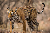 This Image was taken in morning safari  at Ranthambore National Park