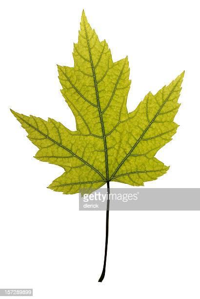 Beautiful and undamaged green maple leaf.