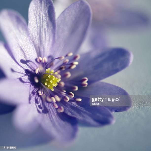 Beautiful anemone flower - Hepatica Nobilis close-up