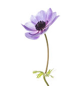 beautiful flower gentle purple anemone with a dark center and lots of stamens on a white background isolated