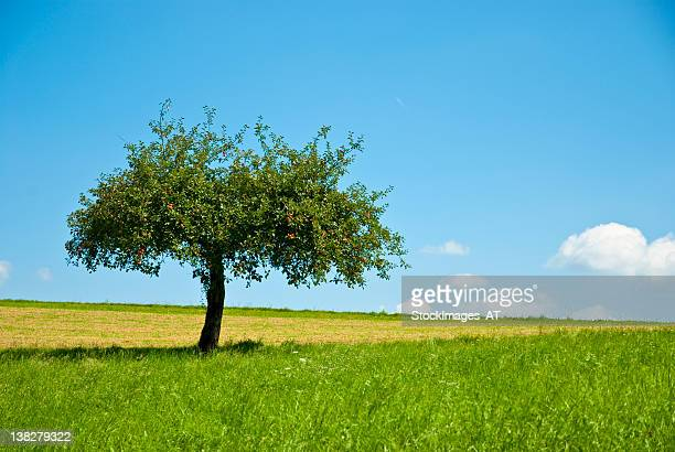 Beautiful apple tree an green meadow