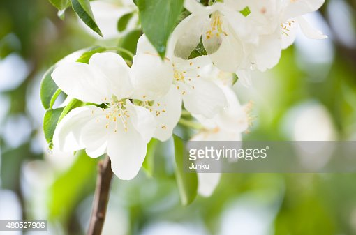 Beautiful apple tree flowers : Stockfoto