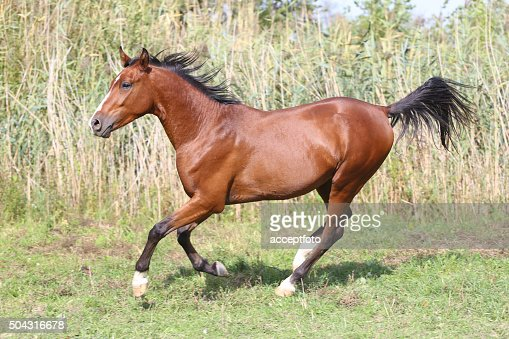Beautiful arabian stallion galloping on summer pasture : Stock Photo