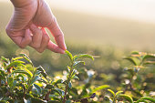 Beautiful asian woman harvest tea leaves in tea field in the morning.