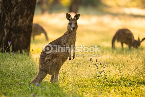 Beautiful Australian Eastern Grey Kangaroo Bathes in afternoon light : Stock Photo