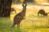 A Kangaroo looks at camera whilst feeding before the sun seats in New South Wales Warrumbungles National Park.
