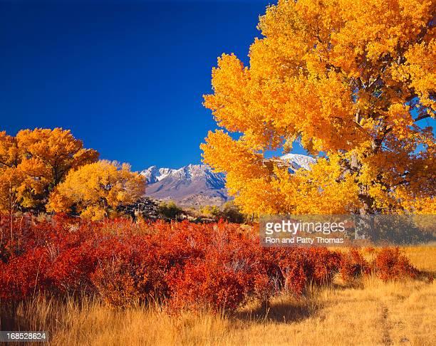 Beautiful autumn cottonwood trees in California USA