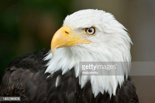 Beautiful Bald Eagle (Haliaeetus leucocephalus)