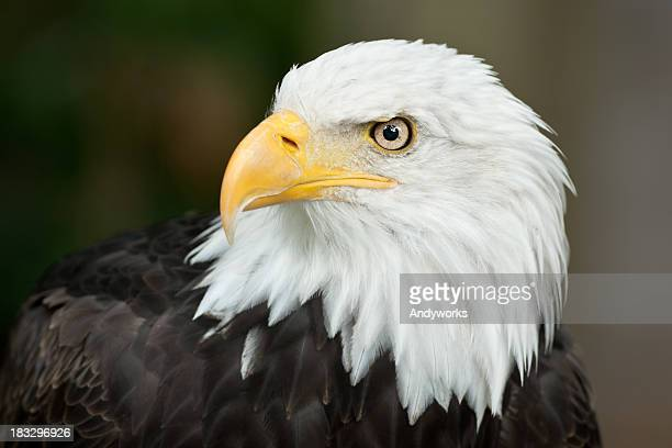 Beautiful Bald Eagle (Haliaeetus leucocephalus)