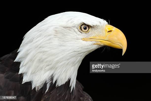Wunderschöne Bald Eagle (Haliaeetus leucocephalus) XXXL