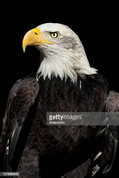 Beautiful Bald Eagle (Haliaeetus leucocephalus) XXXL