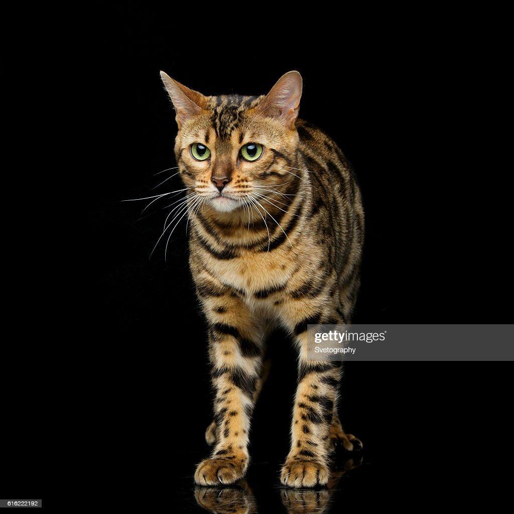 Beautiful bengal cat : Stock Photo