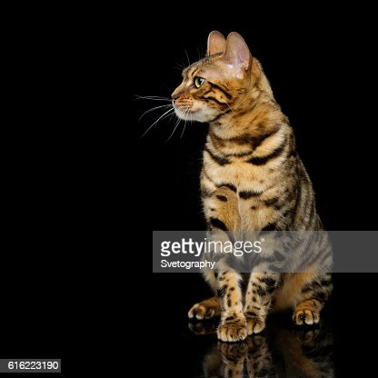 Beautiful bengal cat : Bildbanksbilder
