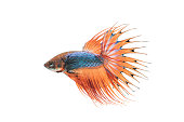 close-up of siamese fighting fish (betta splendens) isolated on white background (Crown Tail)