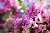 Beautiful big flower bush in purple