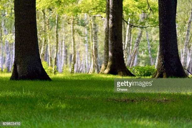 Beautiful Birch Forest And Yellow Green Grass In Spring Against Sunlight