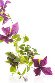 beautiful blooming clematis on a white background