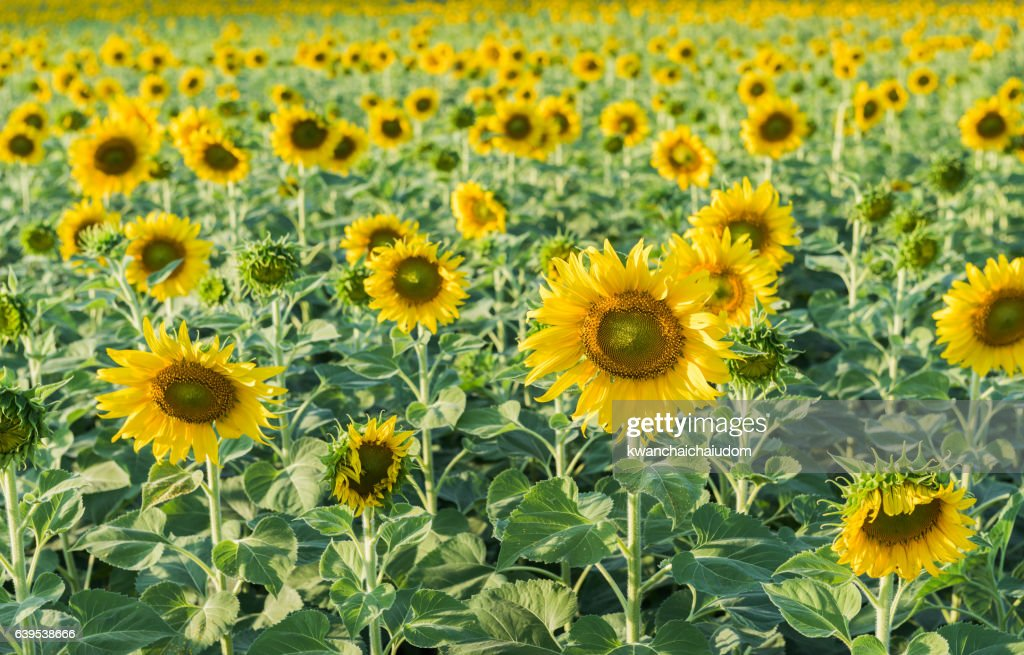 sunflower field picture blooming - photo #5