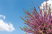 Cherry tree, Beautiful blossom of the cherry tree with blooming purple flowers on the branches with blue sky background