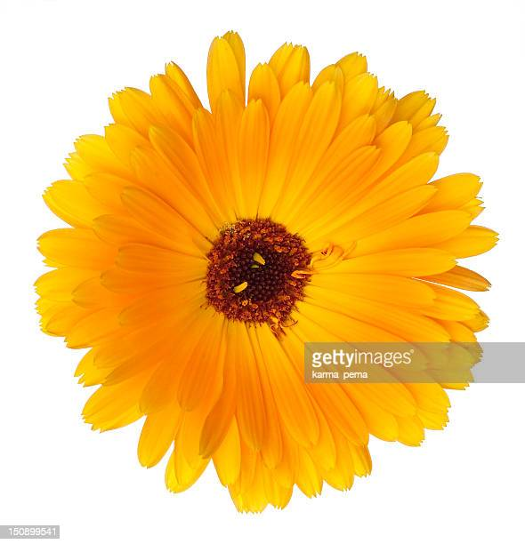 Beautiful blossoming yellow marigold on white background