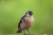 This chaffinch is an endemic subspecies from the islands of Azores. Its scientific name is Fringilla coelebs moreletti. Head and back are blue to grey with some green, wings and tail are black and whi